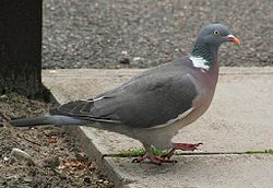 250px-wood_pigeon