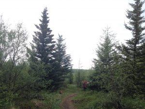 Við göngustíg við Skemmuna, greni að springa út_092016HGS (2)